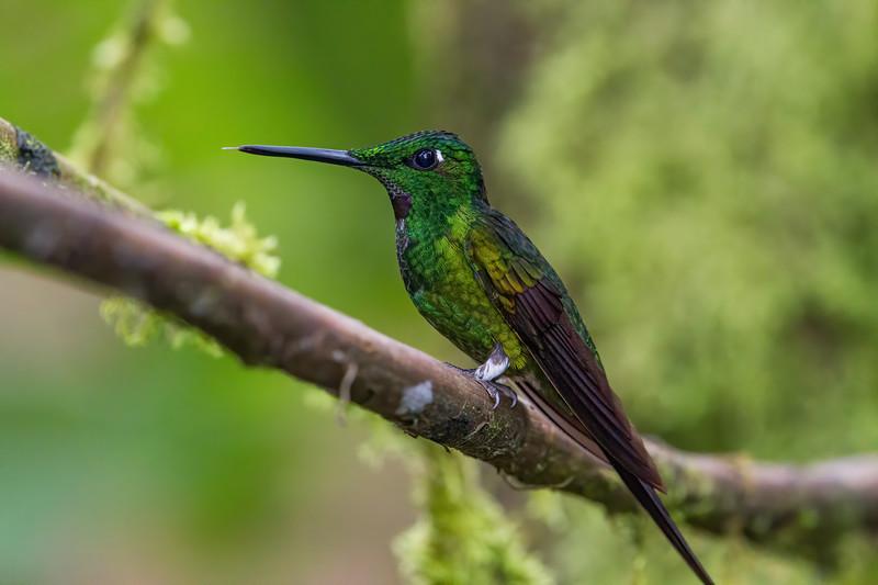 empress brilliant, Heliodoxa imperatrix (Trochilidae). Reserva Las Gralarias, Pichincha Ecuador