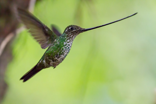 female sword-billed hummingbird, Ensifera ensifera (Trochilidae). Guango, Napo Ecuador