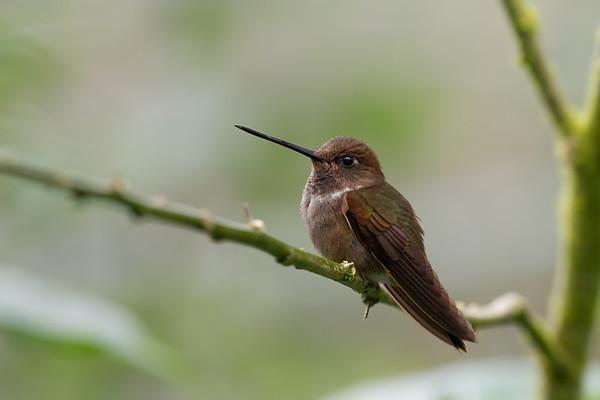 brown inca, Coeligena wilsoni (Trochilidae). Reserva Las Gralarias, Pichincha Ecuador