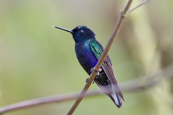 velvet-purple coronet, Boissonneaua jardini (Trochilidae). Reserva Las Gralarias, Pichincha Ecuador