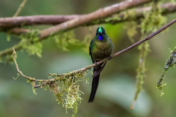 male violet-tailed sylph, Aglaiocercus coelestis coelestis (Trochilidae). Reserva Las Gralarias, Pichincha Ecuador