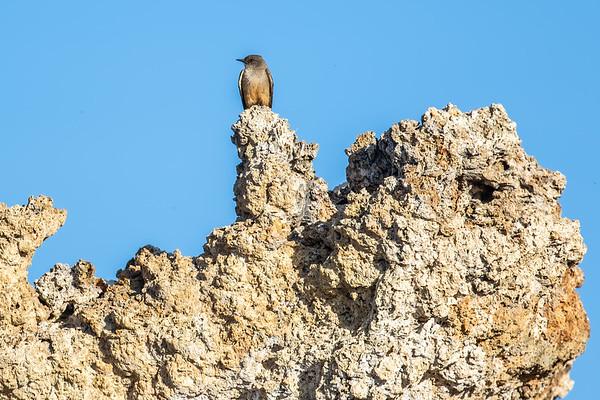 Say's phoebe, Sayornis saya (Passeriformes, Tyrannidae). Mono Lake, Mono Co., California CA United States