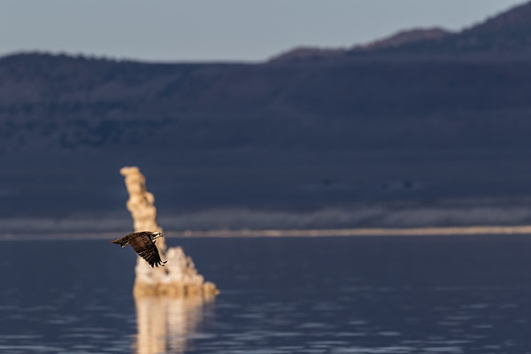 osprey, Pandion haliaetus (Accipitriformes, Pandionidae). Mono Lake, Mono Co., California CA United States