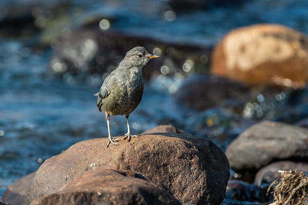 juvenile American Dipper, Cinclus mexicanus (Passeriformes, Cinclidae). Trout Creek, Ashley National Forest, Uintah County, Utah USA