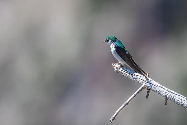 Violet-green swallow,  Tachycineta thalassina (Passeriformes, Hirundinidae). Edge of Rim near Rim Lake, Fishlake National Forest, Garfield County, Utah USA