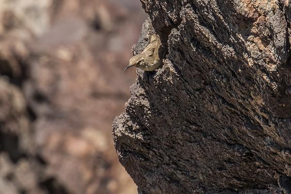 rock wren, Salpinctes obsoletus (Troglodytidae). Fossil Falls, Inyo Co. California USA