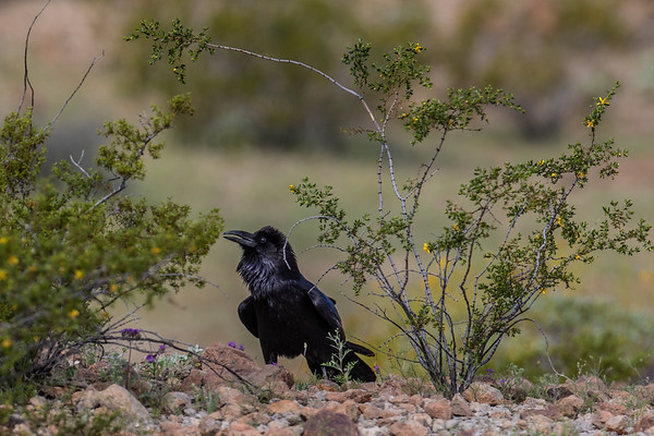 common raven,  (Passeriformes, Corvidae). Christmas Pass Rd. Cabeza Prieta National Wildlife Refuge, Yuma County, Arizona USA