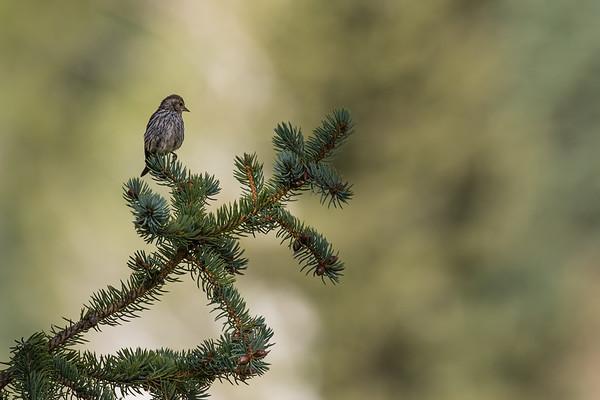 pine siskin, Spinus pinus (Passeriformes, Fringillidae). East Fork Creek of Sevier River, Dixie National Forest, Kane County, Utah USA