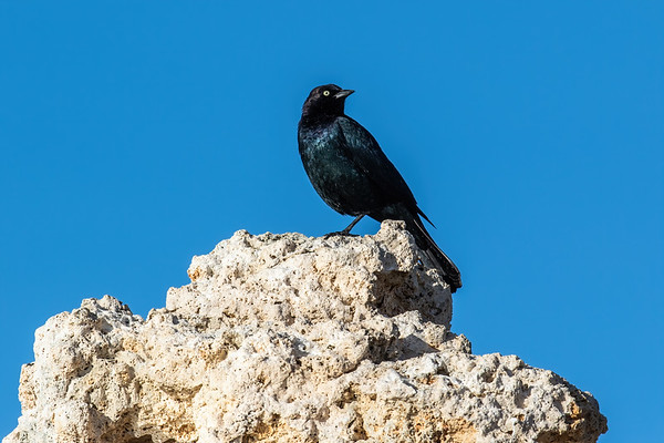 Brewer's blackbird, Euphagus cyanocephalus (Passeriformes, Icteridae). Mono Lake, Mono Co., California CA United States