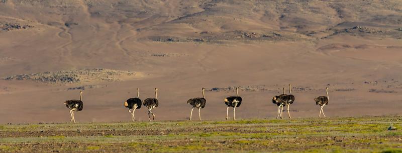 common ostrich, Struthio camelus (Struthionidae, Struthioniformes). Erongo, Namibia