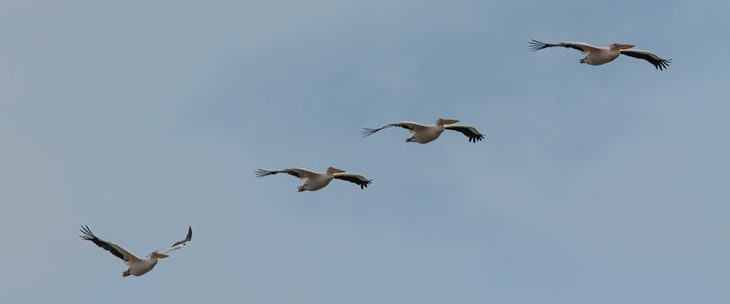 great white pelican, Pelecanus onocrotalus (Pelecanidae, Pelecaniformes). Walvis Bay, Erongo Namibia