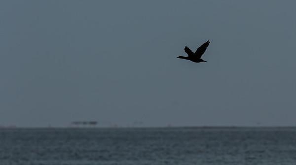 cape cormorant, Phalacrocorax capensis (Phalacrocoracidae, Suliformes). Walvis Bay, Erongo Namibia