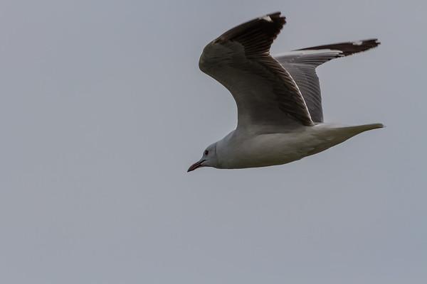 Hartlaub's gull, Chroicocephalus hartlaubii (Laridae, Charadriiformes). Walvis Bay, Erongo Namibia