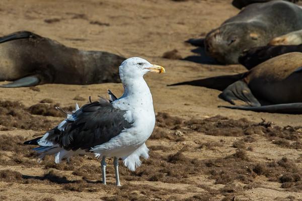kelp gull, Larus dominicanus (Laridae, Charadriiformes). Cape Cross, Erongo Namibia