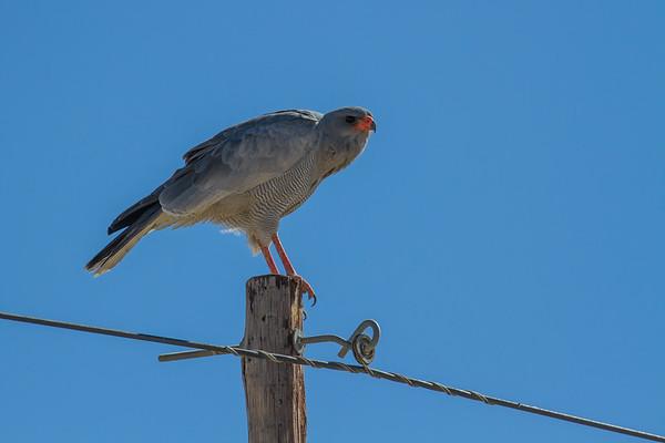 pale chanting goshawk, Melierax canorus (Accipitridae, Accipitriformes). Kunene Namibia