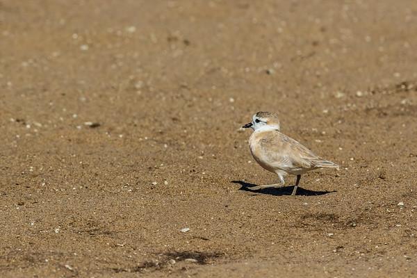 white-fronted plover, Charadrius marginatus (Charadriidae, Charadriiformes). Cape Cross, Erongo Namibia