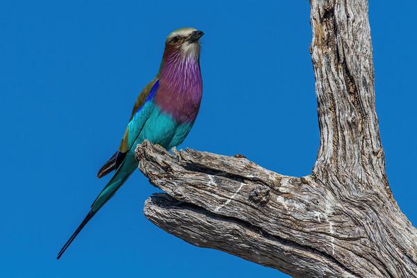 lilac-breasted roller, Coracias caudatus (Coraciidae, Coraciiformes). Etosha N.P., Oshikota Namibia