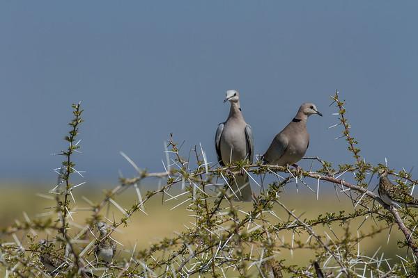 cape turtle dove, Streptopelia capicola with female namaqua dove Oena capensis (Columbidae, Columbiformes). Etosha N.P., Oshana Namibia