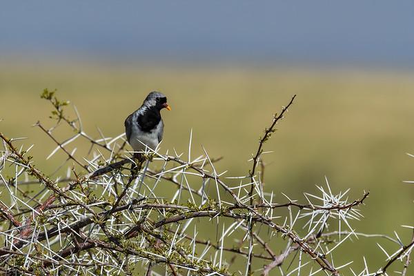 namaqua dove, Oena capensis (Columbidae, Columbiformes). Etosha N.P., Oshana Namibia