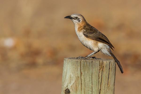 bare-cheeked babbler, Turdoides gymnogenys (Leiothrichidae, Passeriformes). Abu Huab, Kunene Namibia
