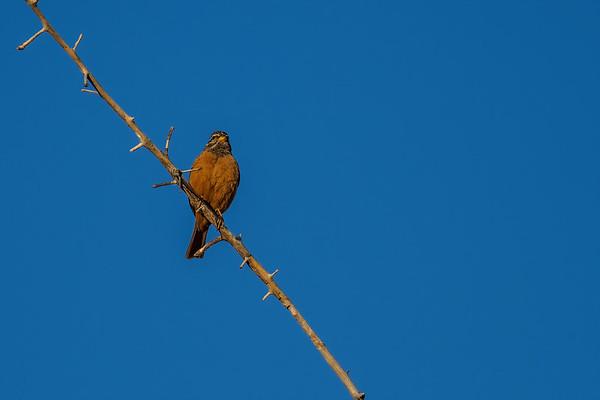 cinnamon-breasted bunting, Emberiza tahapisi (Emberizidae, Passeriformes). Sophienhof, Kunene Namibia