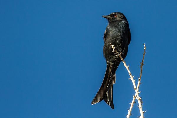 fork-tailed drongo, Dicrurus adsimilis (Dicruridae, Passeriformes). Sophienhof, Kunene Namibia