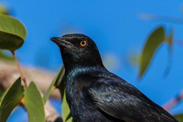 pale-winged starling, Onychognathus nabouroup (Sturnidae, Passeriformes). Abu Huab, Kunene Namibia