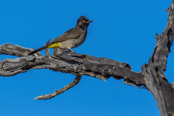 African red-eyed bulbul, Pycnonotus nigricans (Pycnonotidae, Passeriformes). Gobabeb, Erongo Namibia