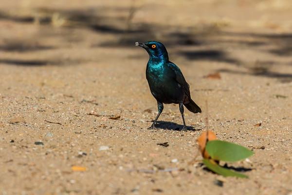 cape glossy starling, Lamprotornis nitens (Sturnidae, Passeriformes). Abu Huab, Kunene Namibia
