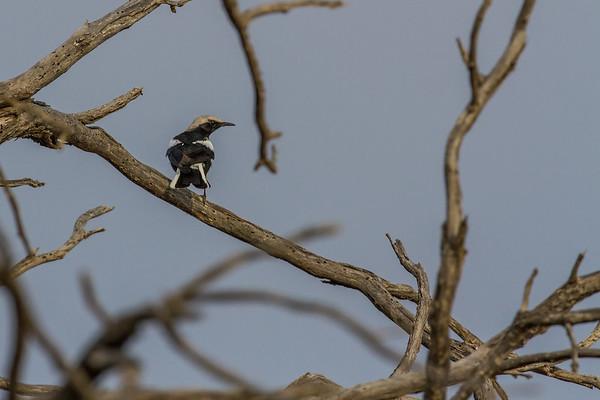 mountain wheatear, Oenanthe montocola (Muscicapidae, Passeriformes). Gobabeb, Erongo Namibia