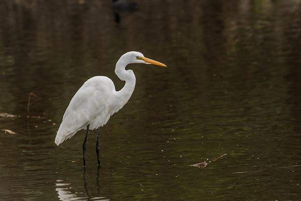 great egret, Ardea alba (Pelecaniformes, Ardeidae). Sweetwater Wetlands, Tucson, Pima Co. Arizona USA