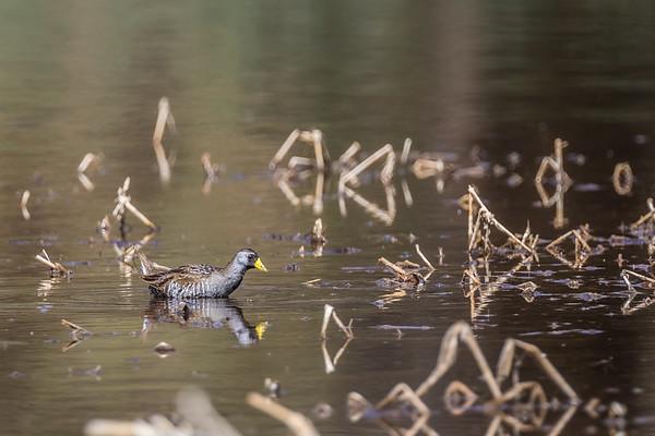 sora, Porzana carolina (Gruiformes, Rallidae). San Pedro Riparian National Conservation Area, San Pedro House Area, Cochise Co., Arizona USA
