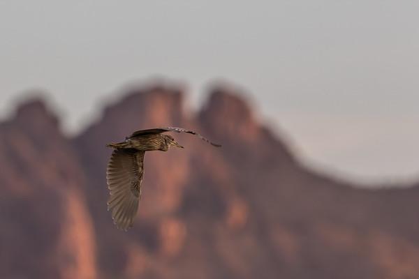 black-crowned night heron, Nyctocorax nycticorax (Pelecaniformes, Ardeidae). White Crane Lake, Marana, Arizona USA