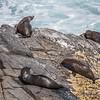 New Zealand fur seal, <i>Arctocephalus australis forsteri</i> (Otariidae). Flinders Chase National Park, Kangaroo Island Australia