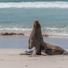 Australian sea lion, <i>Neophoca cinerea</i> (Otariidae). Seal Bay Conservation Park, Kangaroo Island Australia