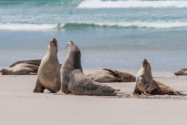Australian sea lion, Neophoca cinerea (Otariidae). Seal Bay Conservation Park, Kangaroo Island Australia