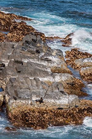 New Zealand fur seal, Arctocephalus australis forsteri (Otariidae). Flinders Chase National Park, Kangaroo Island Australia