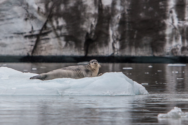 bearded seal, Erignathus barbatus (Phocidae). Hornsund, Spitsbergen, Svalbard Norway