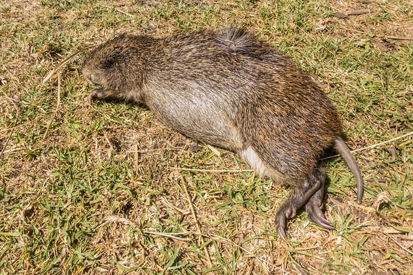 """cutting grass"", greater cane rat, Thryonomys swinderianus (Thryonomyidae) - dead. Mount Manengouba, Littoral Region, Cameroon Africa"