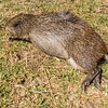 """cutting grass"", greater cane rat, <i>Thryonomys swinderianus</i> (Thryonomyidae) - dead. Mount Manengouba, Littoral Region, Cameroon Africa"