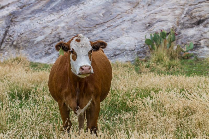 Cow, <i>Bos primigenius</i> (Bovidae).Mendoza Canyon, King Anvil Ranch, Pima Co. Arizona USA