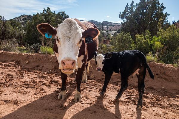 free range domestic cattle, Bos primigenius (Bovidae). Cottonwood Canyon Road, Grand Staircase Escalante National Monument, Utah