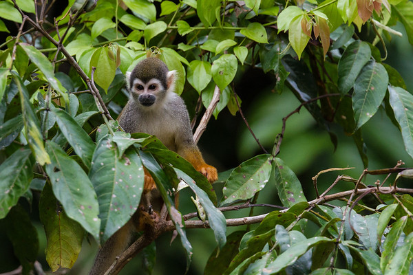 common squirrel monkey, Saimiri sciureus sciureus (Cebidae). Oxbow lake, Shiripuno, Orellana Ecuador