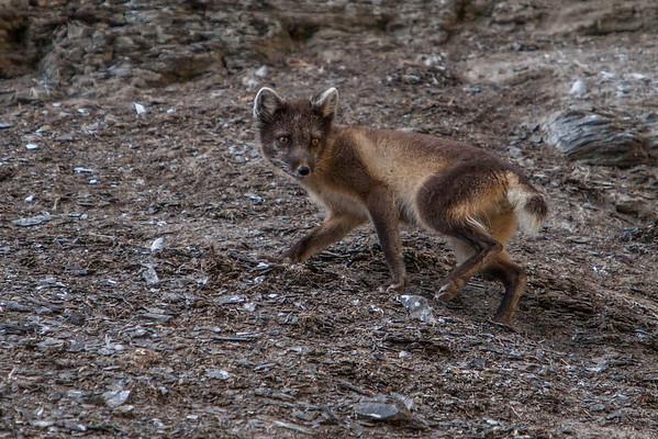 female arctic fox, Vulpes (Alopex) lagopus (Canidae) in summer color. Diskobukta, Edgeoya, Svalbard Norway