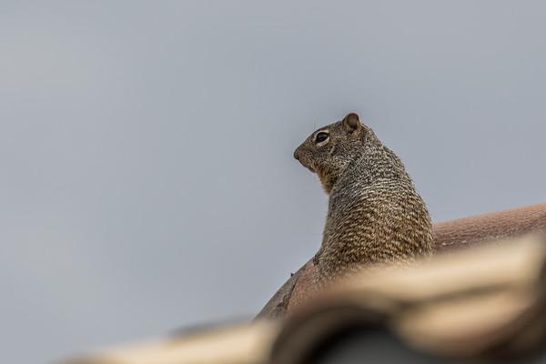 Rock Squirrel,Otospermophilus variegatus (Sciuridae) on roof.Tucson, Pima Co. Arizona USA