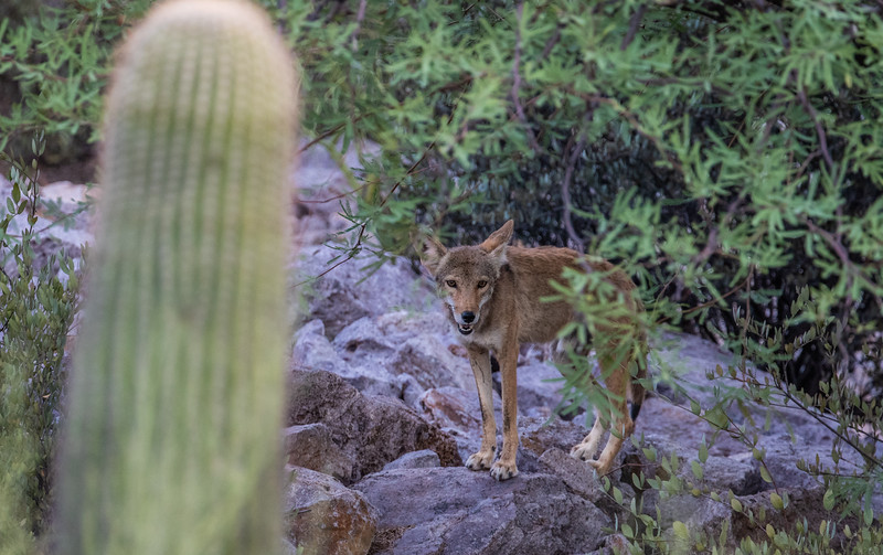 male coyote, Canis latrans (Canidae). Tucson Mountains, Tucson, Pima Co. Arizona USA