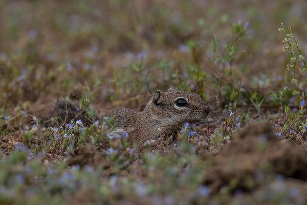 Harris's antelop squirrel, Ammospermophilus harrisii (Sciuridae). Suizo Mountains, Pinal Country, Arizona USA