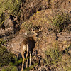 mule deer, Odocoileus hemionus (Cervidae). Tucson Mountains, Tucson, Pima Co., Arizona USA