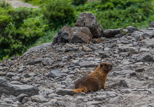 yellow-bellied marmot, Marmota flaviventris (Rodentia, Sciuridae). Imogene Pass, Ouray to Telluride, Colorado USA