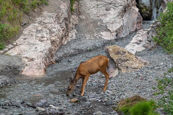 mule deer, Odocoileus hemionus (Cervidae). Gunnison River Lake Fork, Lake City, Colorado USA